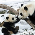 Mum and Baby Pandas, nuff said.