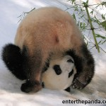 Sometimes things just snowball, Panda