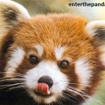 Ginger Panda - Red Panda